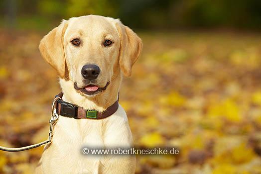 Labrador im Herbst