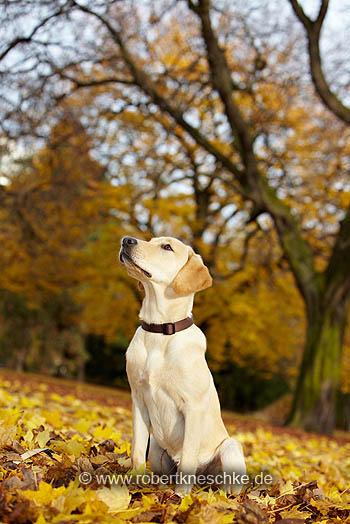 Stolzer Labrador Retriever im Park